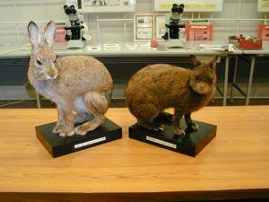 アマミノクロウサギの画像 p1_4