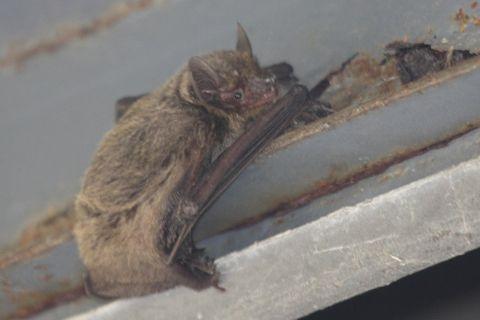 アブラコウモリの画像 p1_11