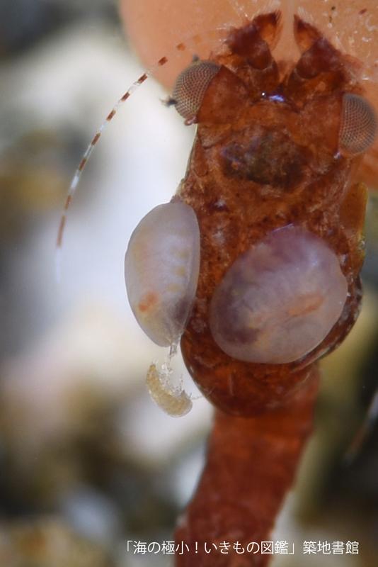 イノチヅナアミアドリ