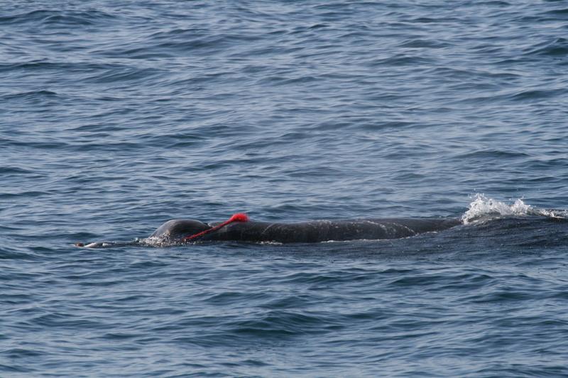 赤いロープが巻きついたツチクジラ