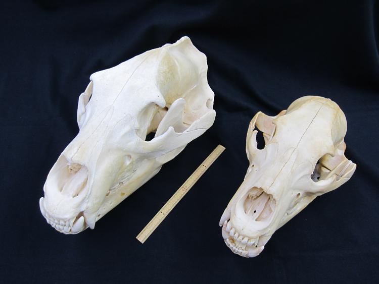 ヒグマ頭骨標本。オス成獣(左)、メス成獣(右)