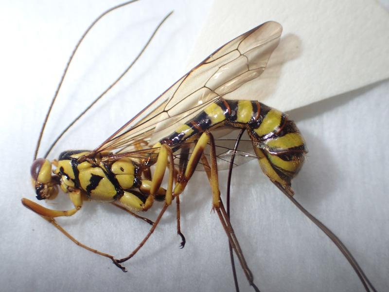 オナガバチの仲間