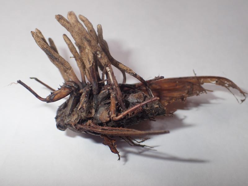セミの成虫から生える冬虫夏草